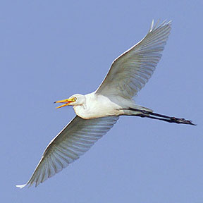 intermediate egret8